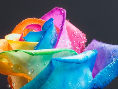 rainbow_roses_closeup_wallpaper-t2.jpg